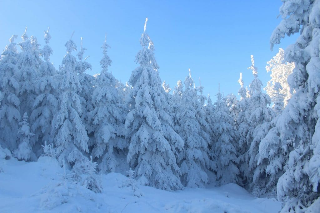 snow covered confier trees seen whilst snowshoeing on super morzine